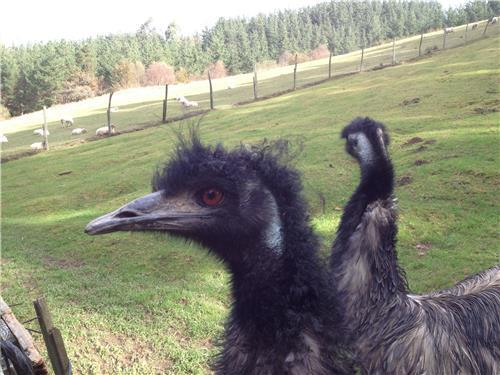 los emus