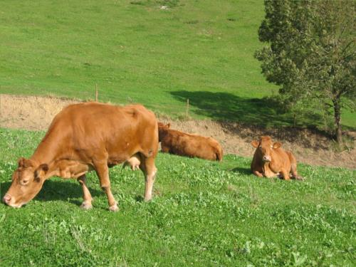 vacas agroturismo landarbide zahar en gipuzkoa