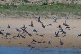Las dunas de Iñurritza ofrecen cobijo a las aves migratorias