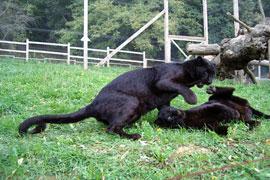 Panteras en el Parque Ecológico Karpin Abentura